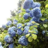 鎌倉 紫陽花鑑賞 明月院ブルー 他 6/23